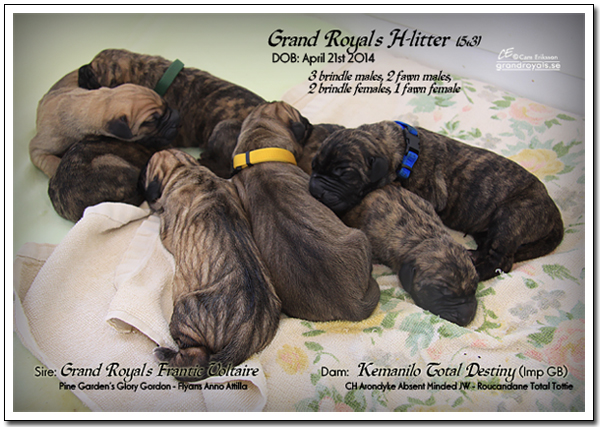 Grand Royal's H-litter