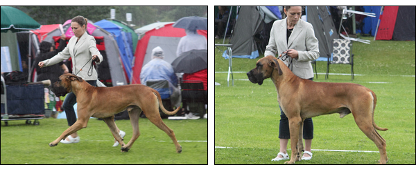 Diego at his first show in Sweden - Tvååker Int Dogshow